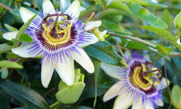 çarkıfelek çiçeği fırıldakçiçeği Faydaları